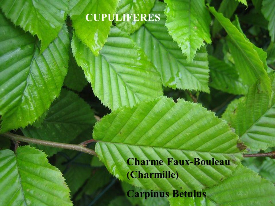 CUPULIFERES Charme Faux-Bouleau (Charmille) Carpinus Betulus