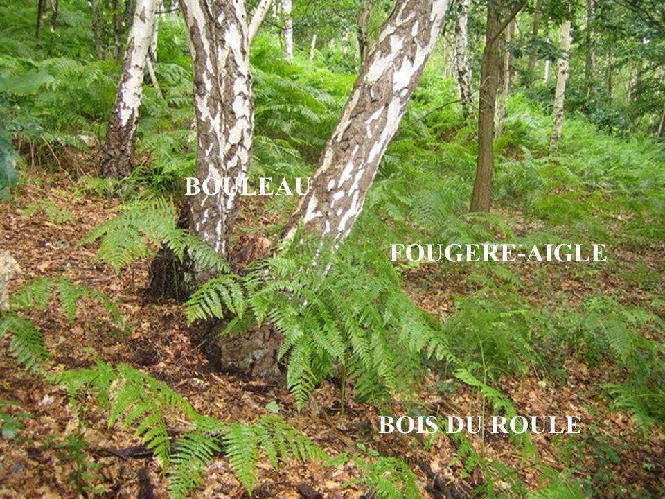BOULEAU FOUGERE-AIGLE BOIS DU ROULE