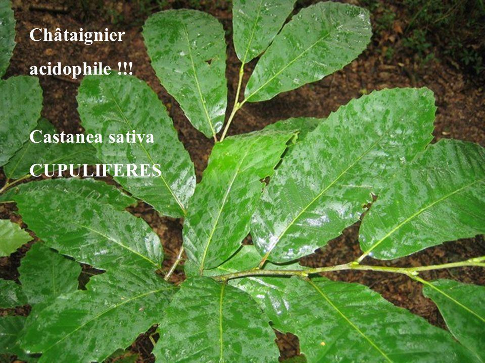 Châtaignier acidophile !!! Castanea sativa CUPULIFERES