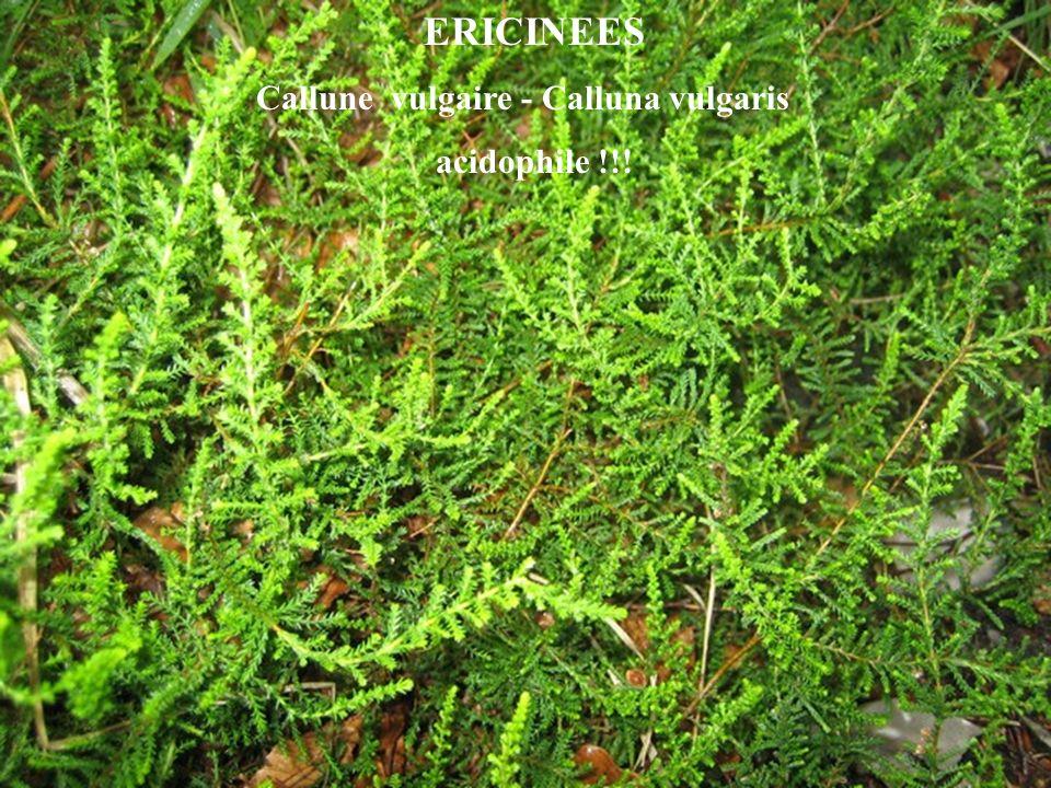 ERICINEES Callune vulgaire - Calluna vulgaris acidophile !!!