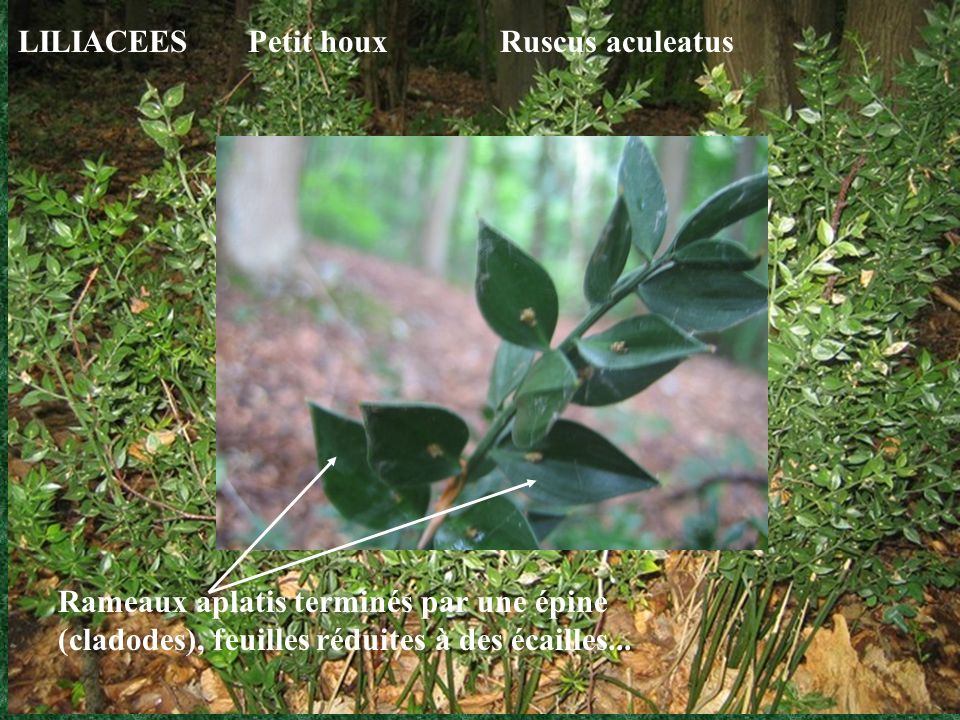 LILIACEES Petit houx Ruscus aculeatus