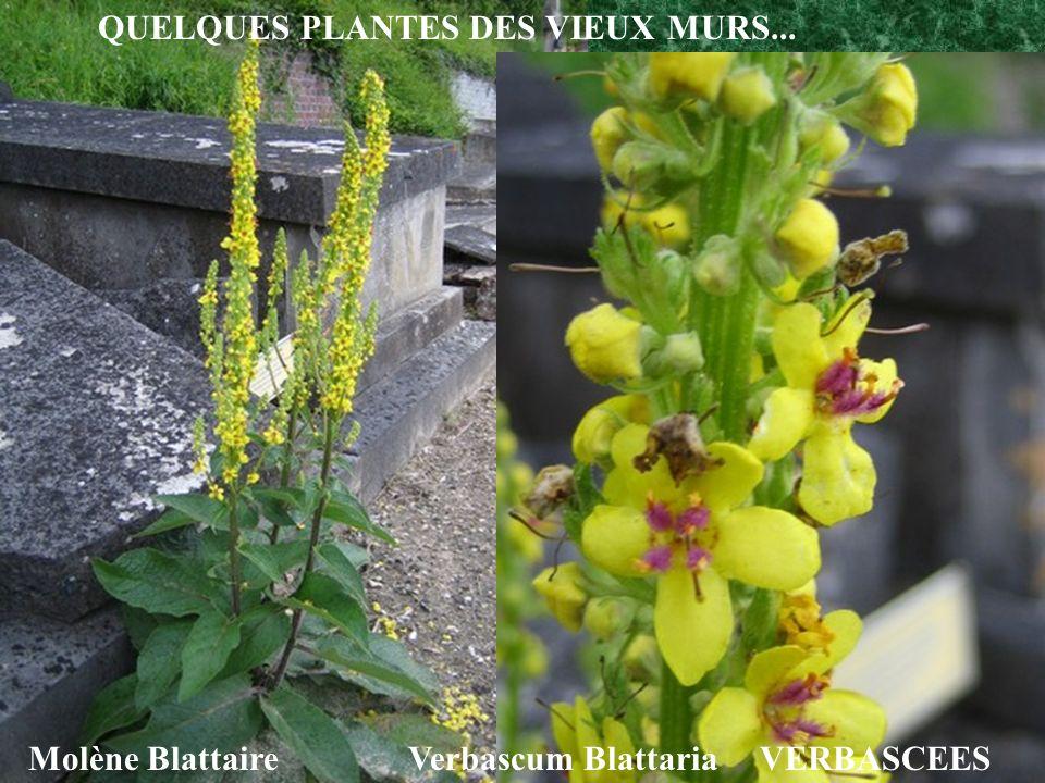 QUELQUES PLANTES DES VIEUX MURS...