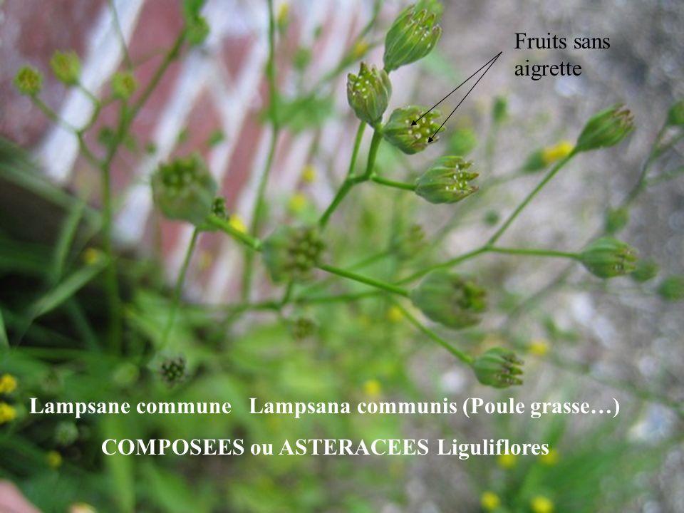 Lampsane commune Lampsana communis (Poule grasse…)