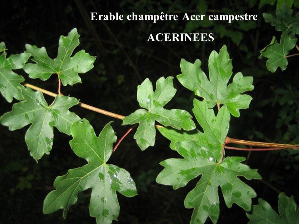Erable champêtre Acer campestre