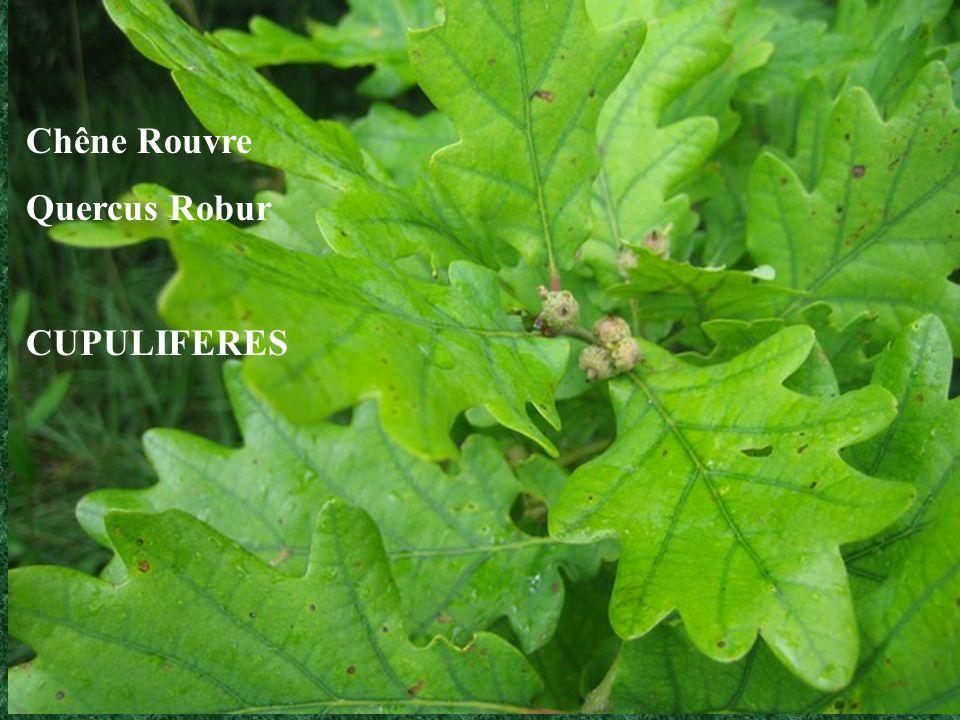 Chêne Rouvre Quercus Robur CUPULIFERES