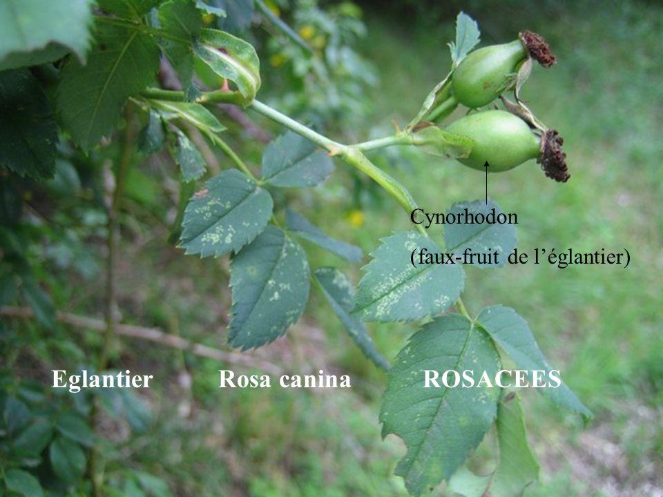 Eglantier Rosa canina ROSACEES