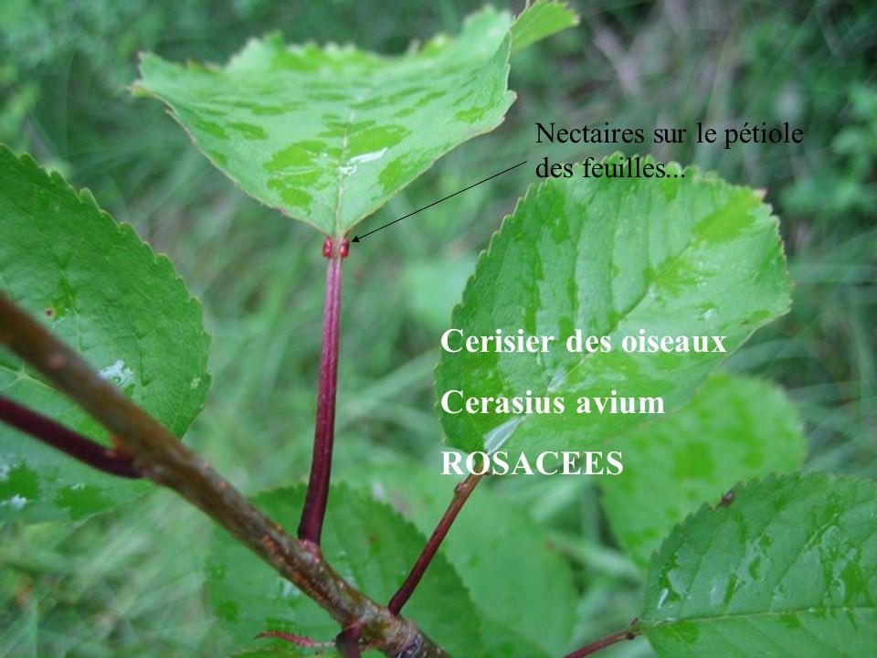 Cerisier des oiseaux Cerasius avium ROSACEES