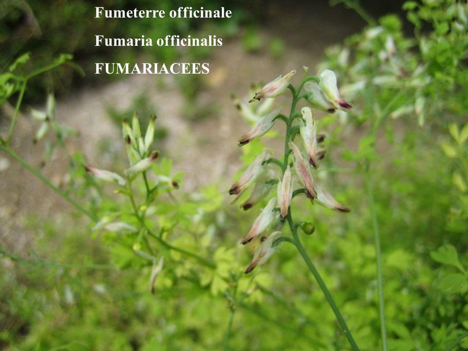 Fumeterre officinale Fumaria officinalis FUMARIACEES