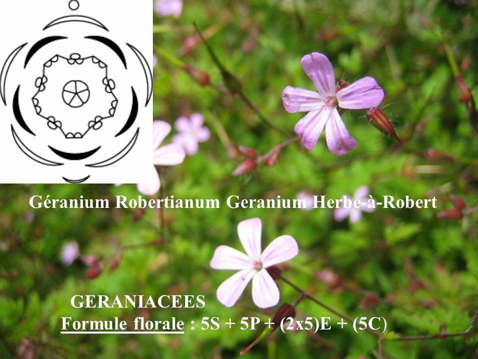 Géranium Robertianum Geranium Herbe-à-Robert