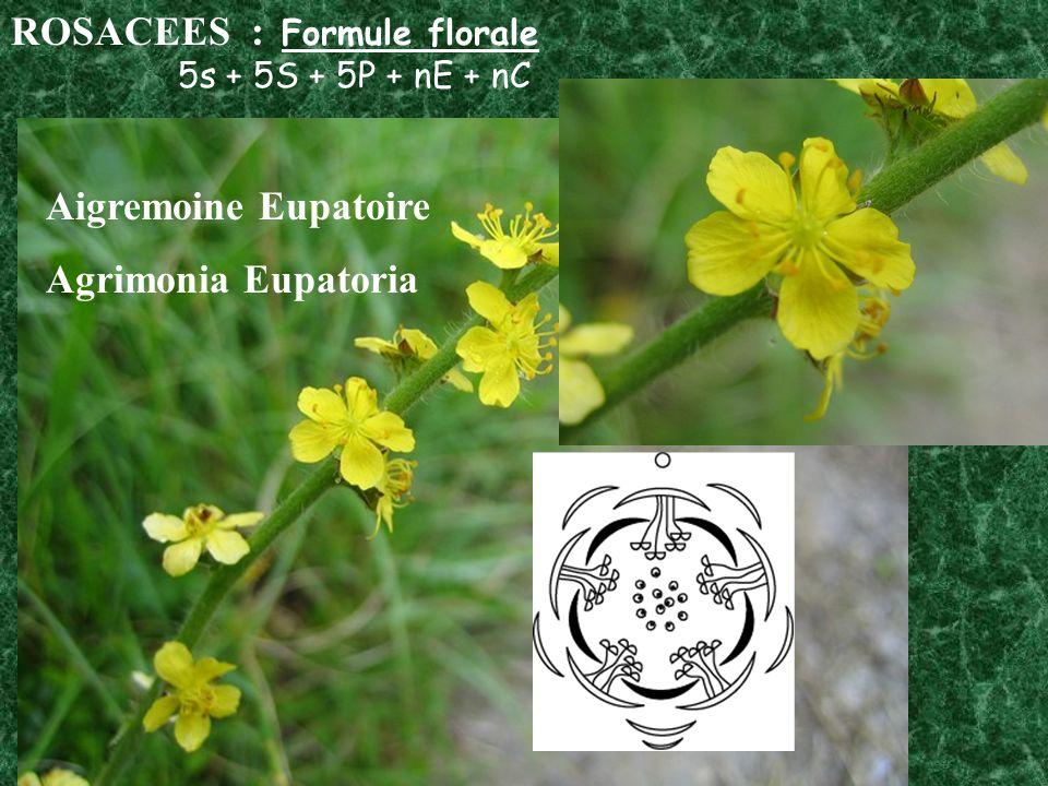 ROSACEES : Formule florale