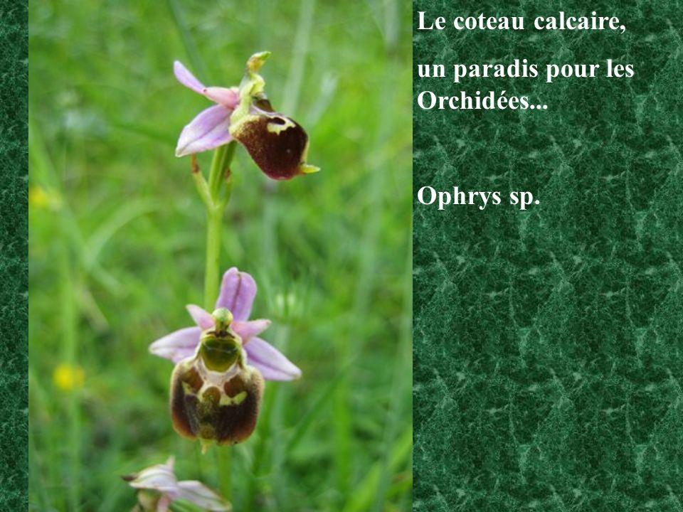 Le coteau calcaire, un paradis pour les Orchidées... Ophrys sp.