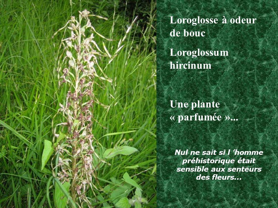 Loroglosse à odeur de bouc Loroglossum hircinum