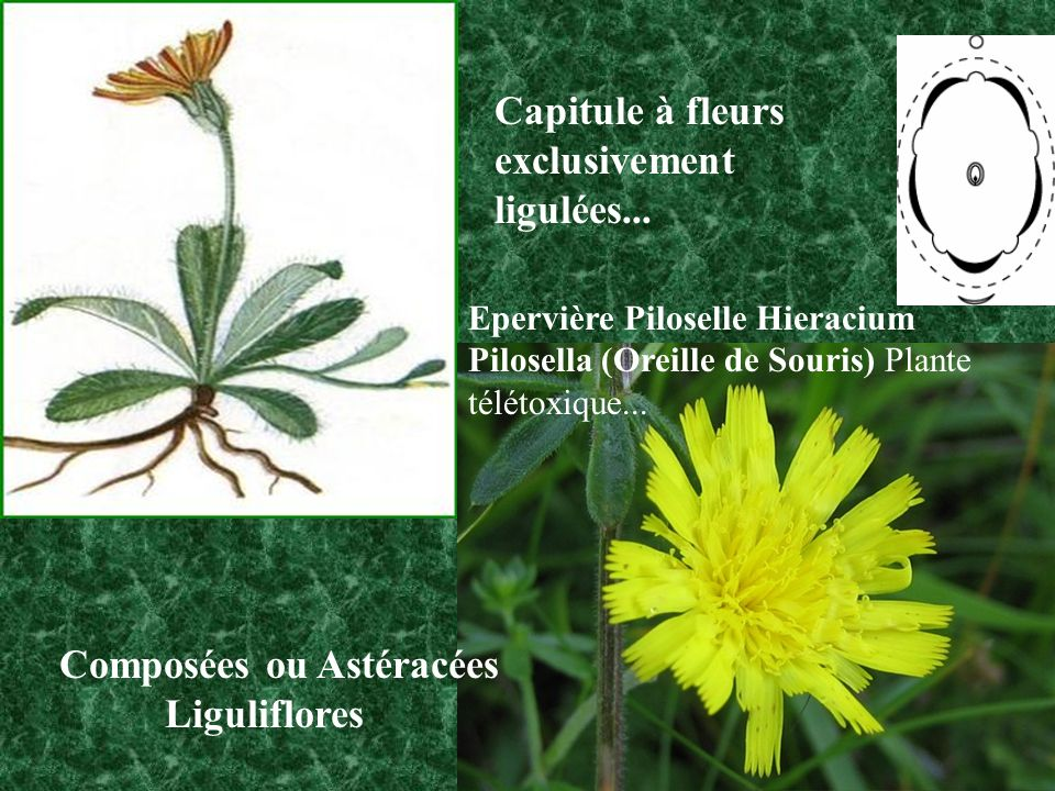 Composées ou Astéracées Liguliflores
