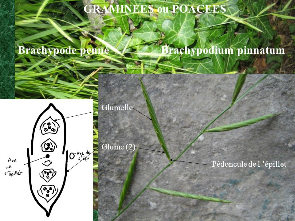 Brachypode penné Brachypodium pinnatum