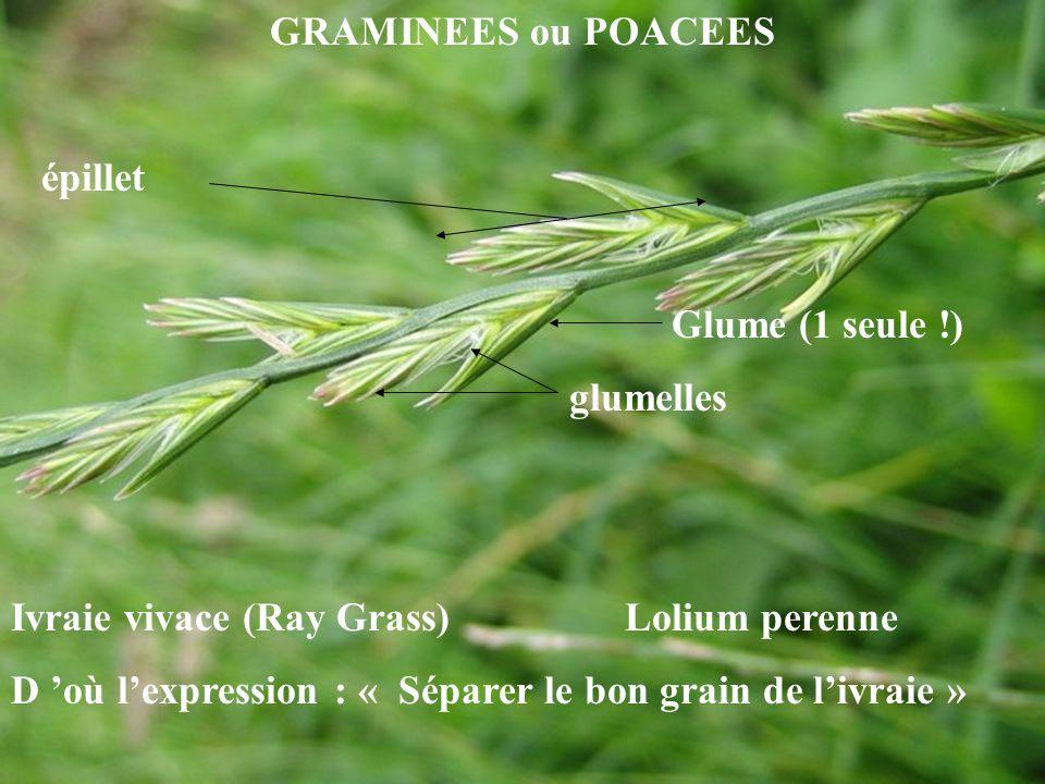 GRAMINEES ou POACEES épillet. Glume (1 seule !) glumelles. Ivraie vivace (Ray Grass) Lolium perenne.