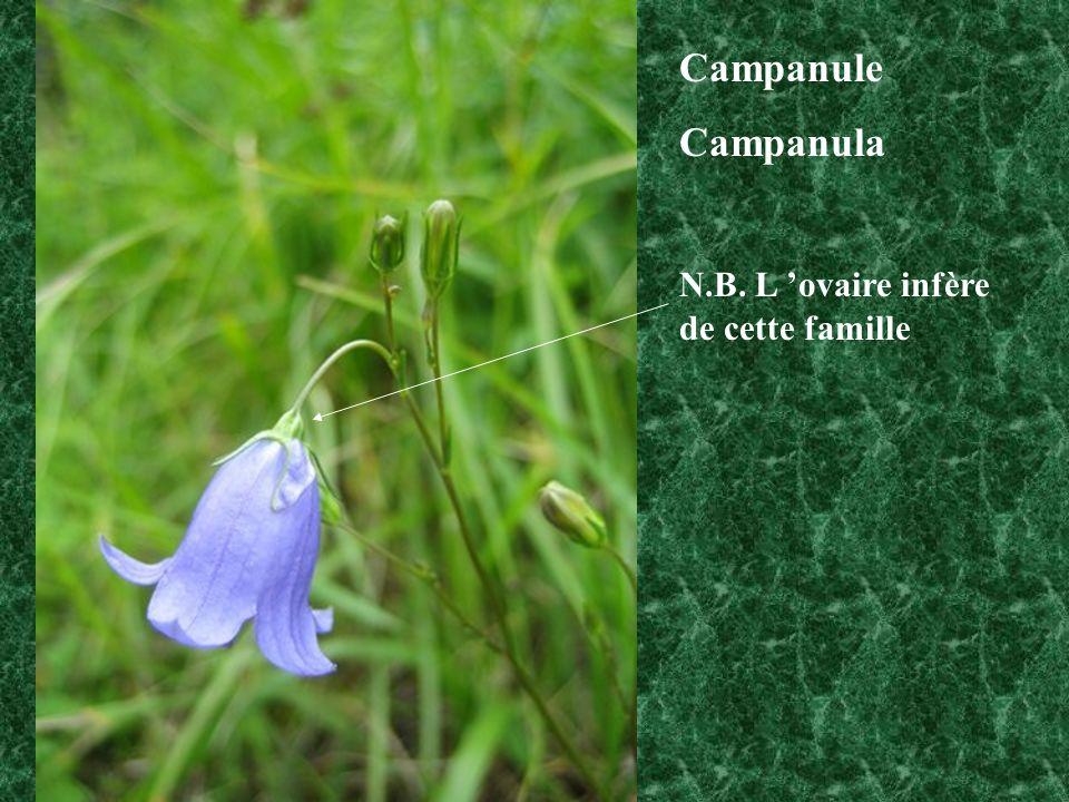Campanule Campanula N.B. L 'ovaire infère de cette famille