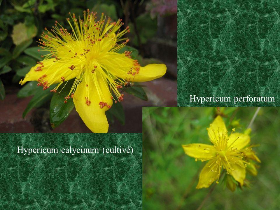 Hypericum perforatum Hypericum calycinum (cultivé)