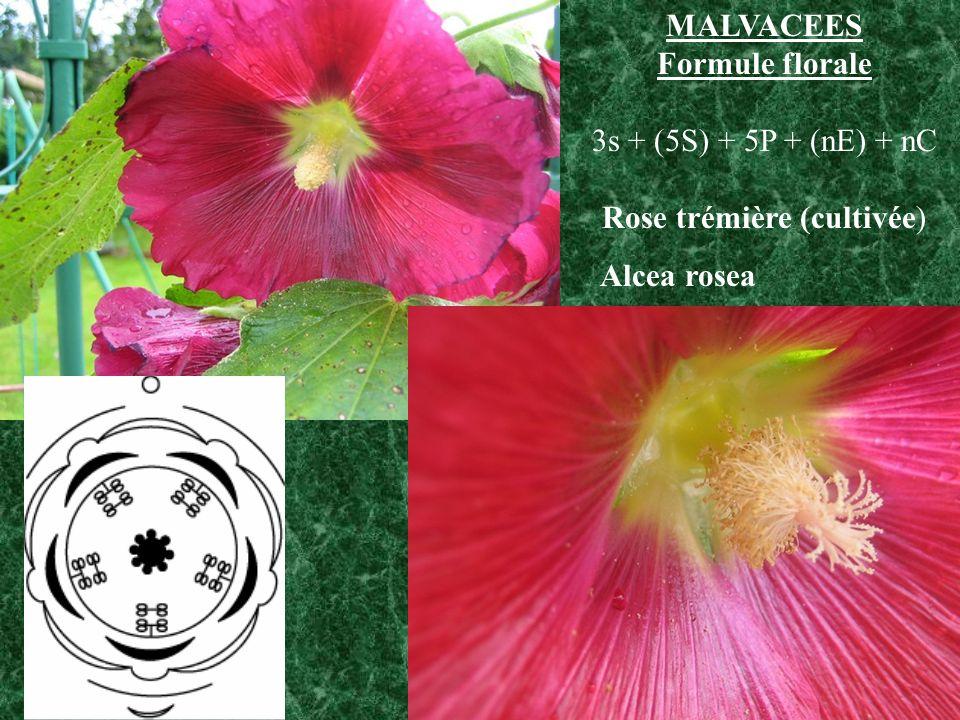 Rose trémière (cultivée)