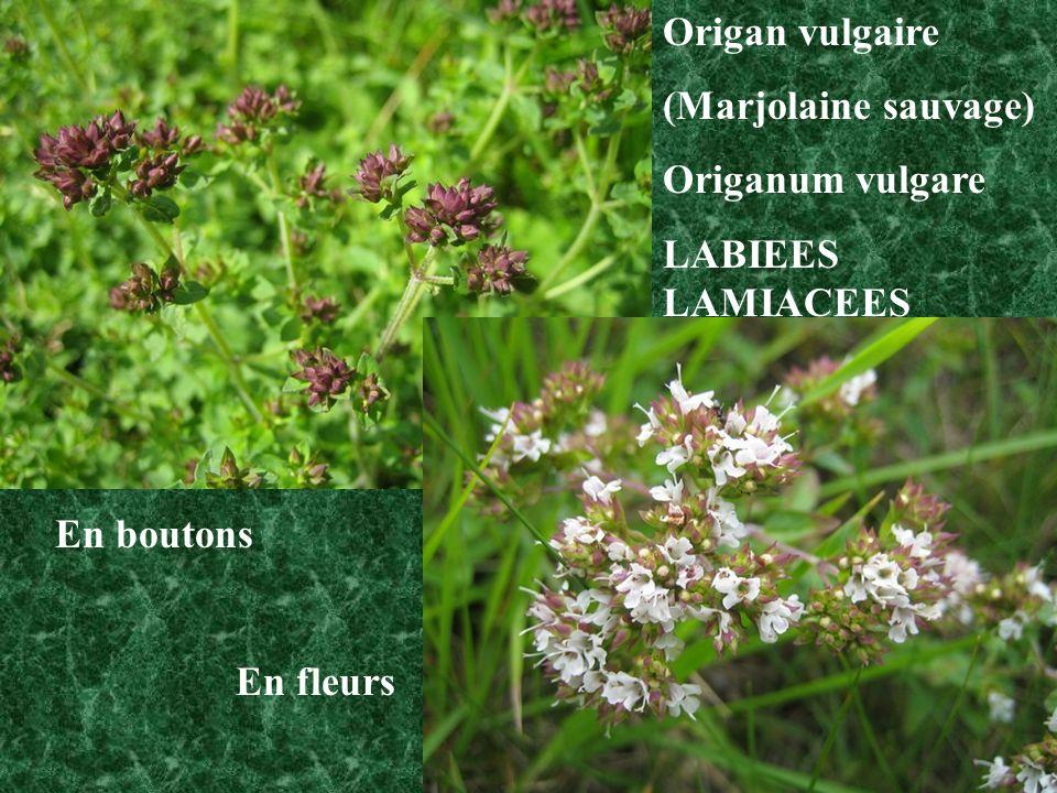 Origan vulgaire (Marjolaine sauvage) Origanum vulgare LABIEES LAMIACEES En boutons En fleurs