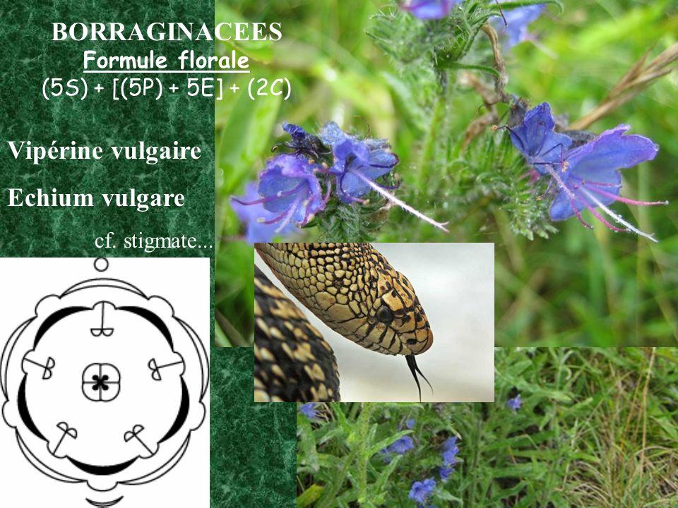 BORRAGINACEES Vipérine vulgaire Echium vulgare Formule florale