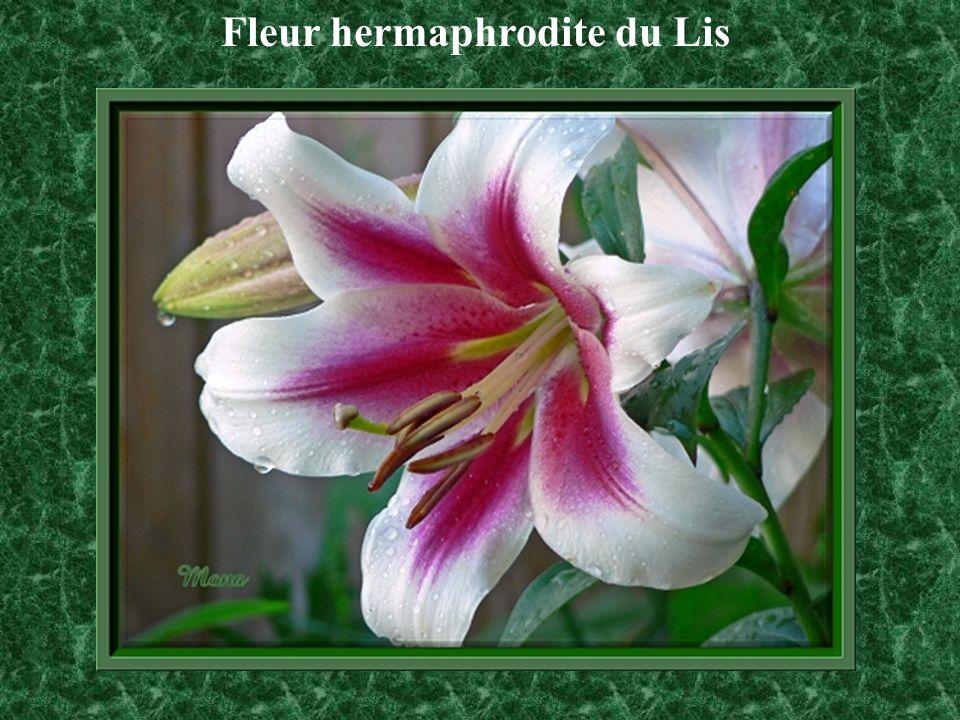 Fleur hermaphrodite du Lis
