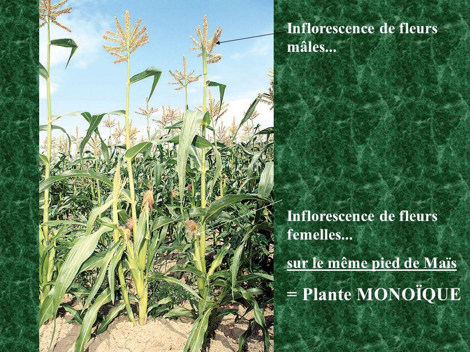 = Plante MONOÏQUE Inflorescence de fleurs mâles...