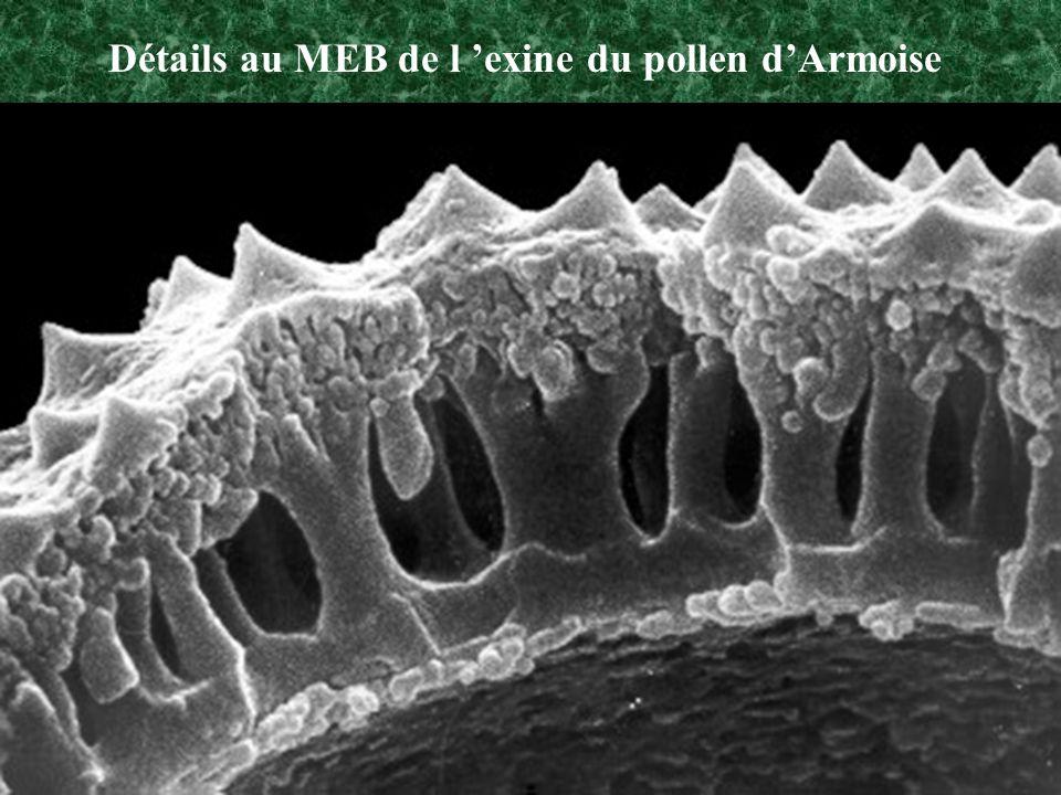 Détails au MEB de l 'exine du pollen d'Armoise