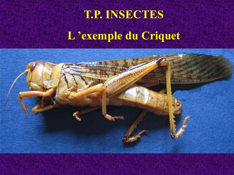 T.P. INSECTES L 'exemple du Criquet