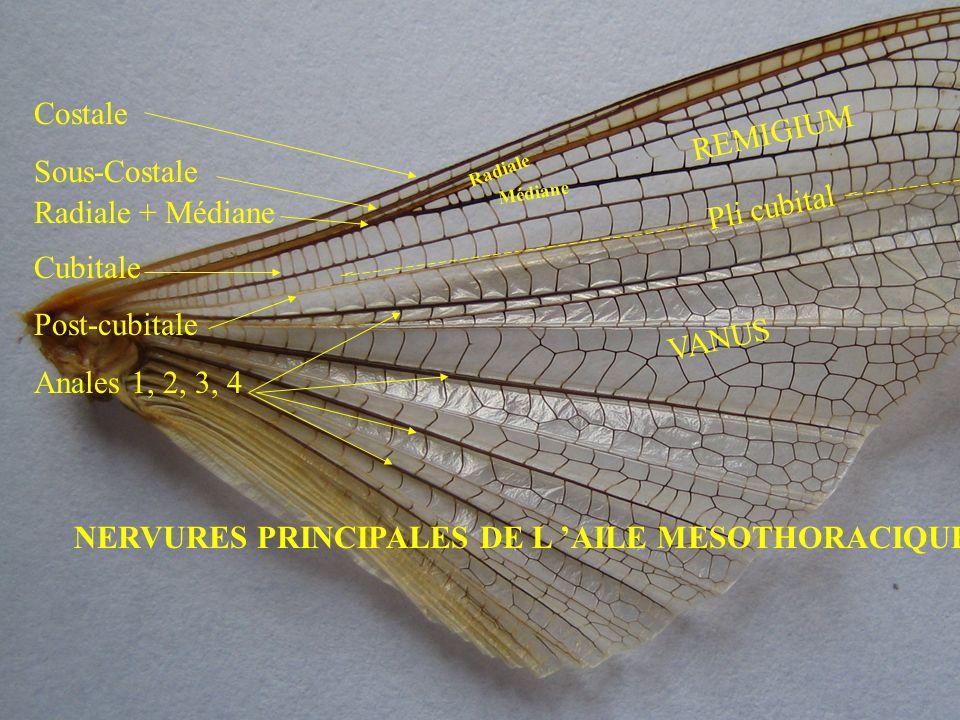 NERVURES PRINCIPALES DE L 'AILE MESOTHORACIQUE
