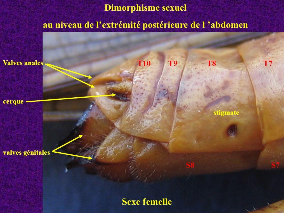 au niveau de l'extrémité postérieure de l 'abdomen