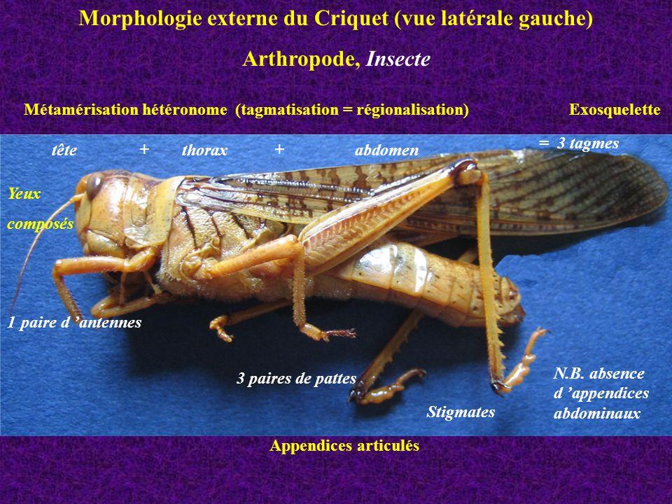 Morphologie externe du Criquet (vue latérale gauche)