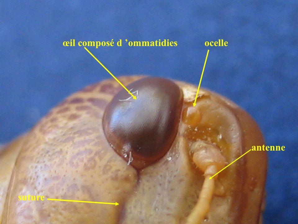 œil composé d 'ommatidies ocelle