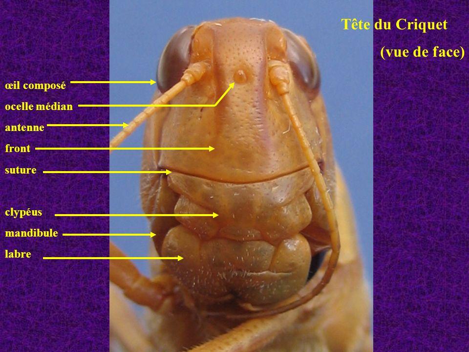 Tête du Criquet (vue de face) œil composé ocelle médian antenne front