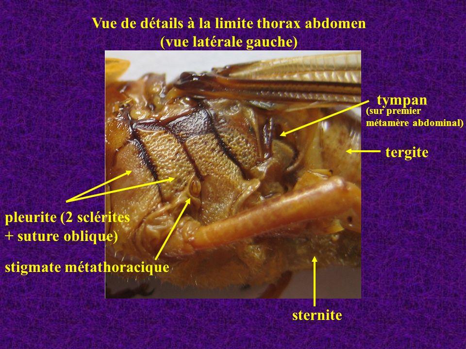 Vue de détails à la limite thorax abdomen
