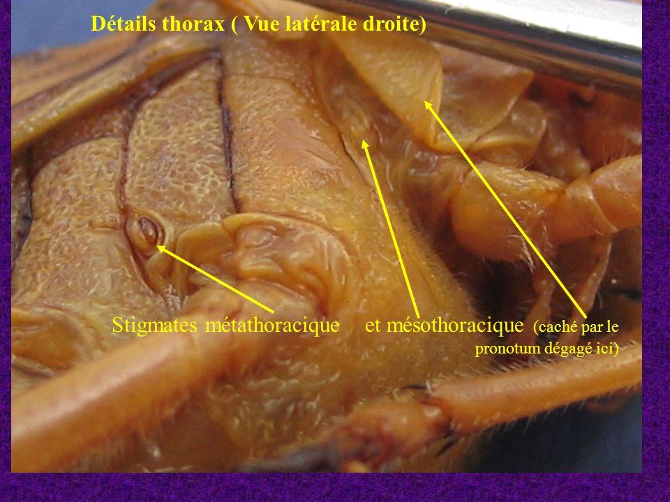 Détails thorax ( Vue latérale droite)