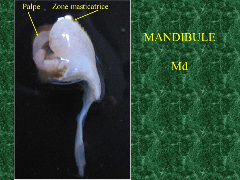 Palpe Zone masticatrice