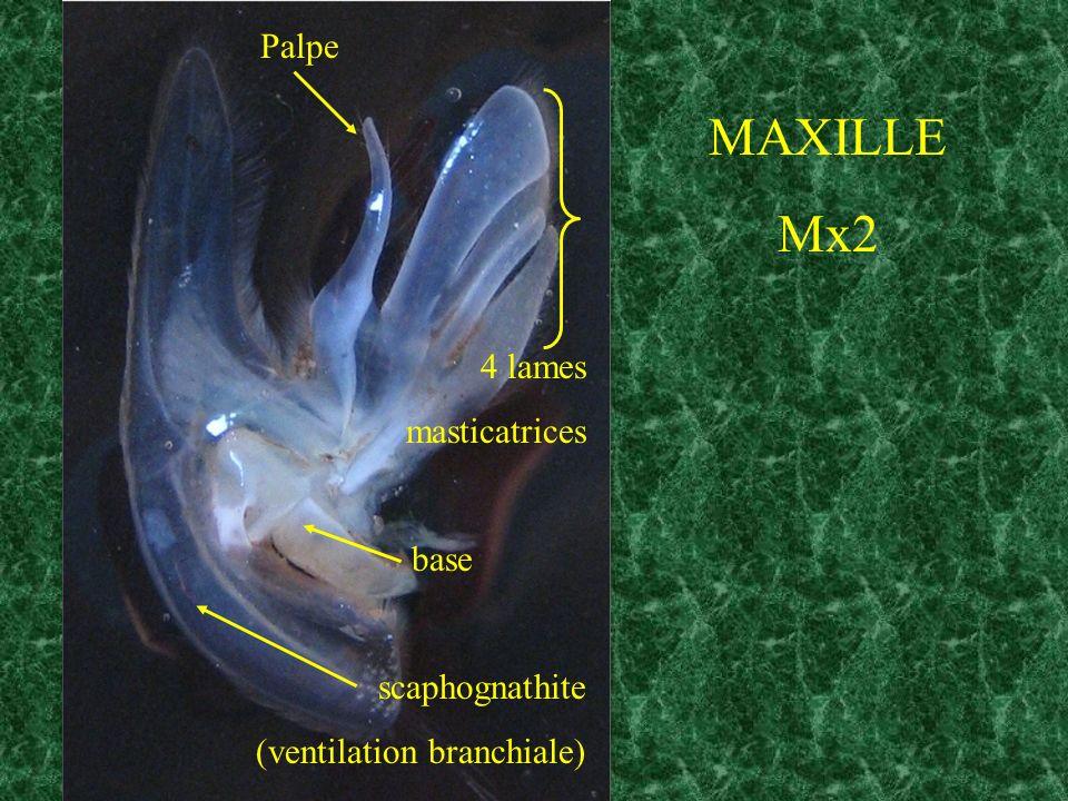 MAXILLE Mx2 Palpe 4 lames masticatrices base scaphognathite