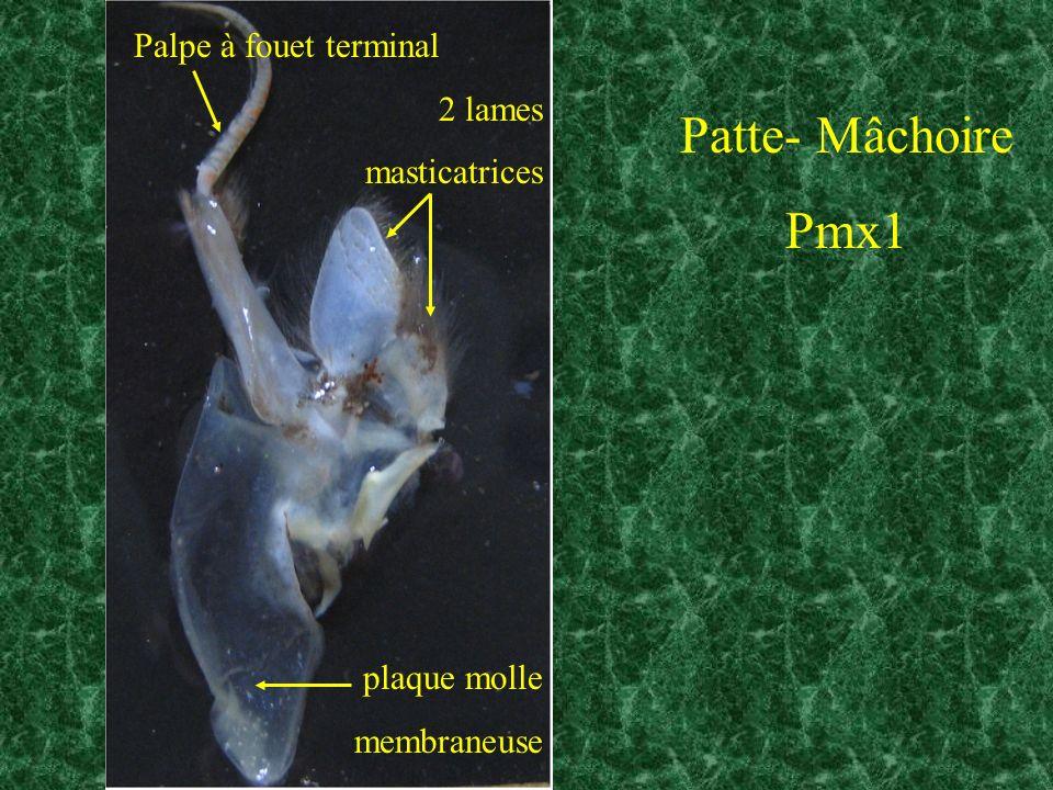 Patte- Mâchoire Pmx1 Palpe à fouet terminal 2 lames masticatrices