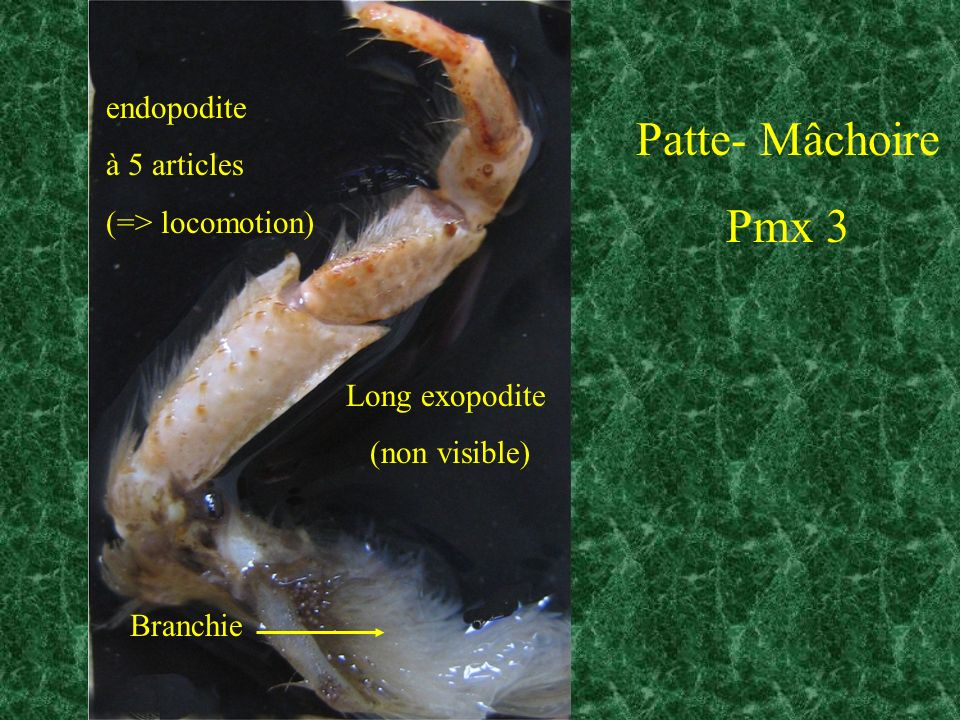 Patte- Mâchoire Pmx 3 endopodite à 5 articles (=> locomotion)