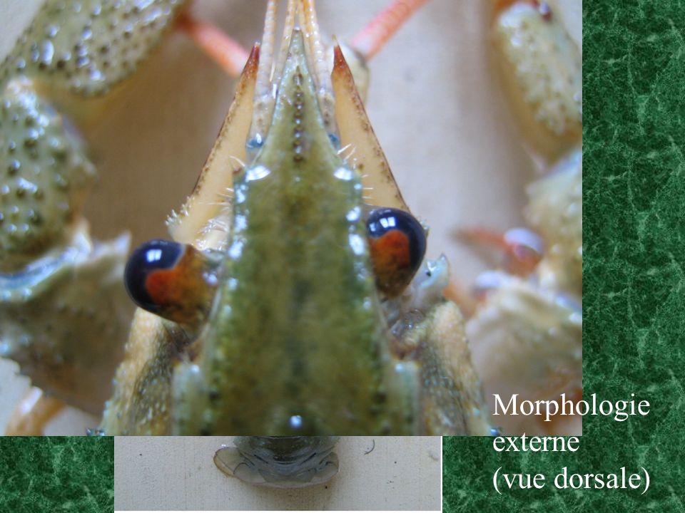 Morphologie externe (vue dorsale)