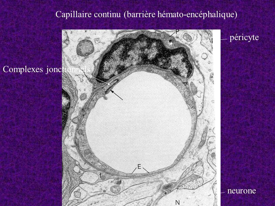 Capillaire continu (barrière hémato-encéphalique)