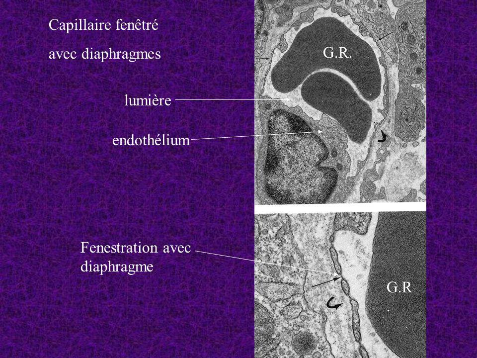 Capillaire fenêtré avec diaphragmes G.R. lumière endothélium Fenestration avec diaphragme G.R.