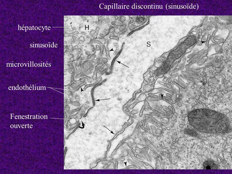 Capillaire discontinu (sinusoïde)