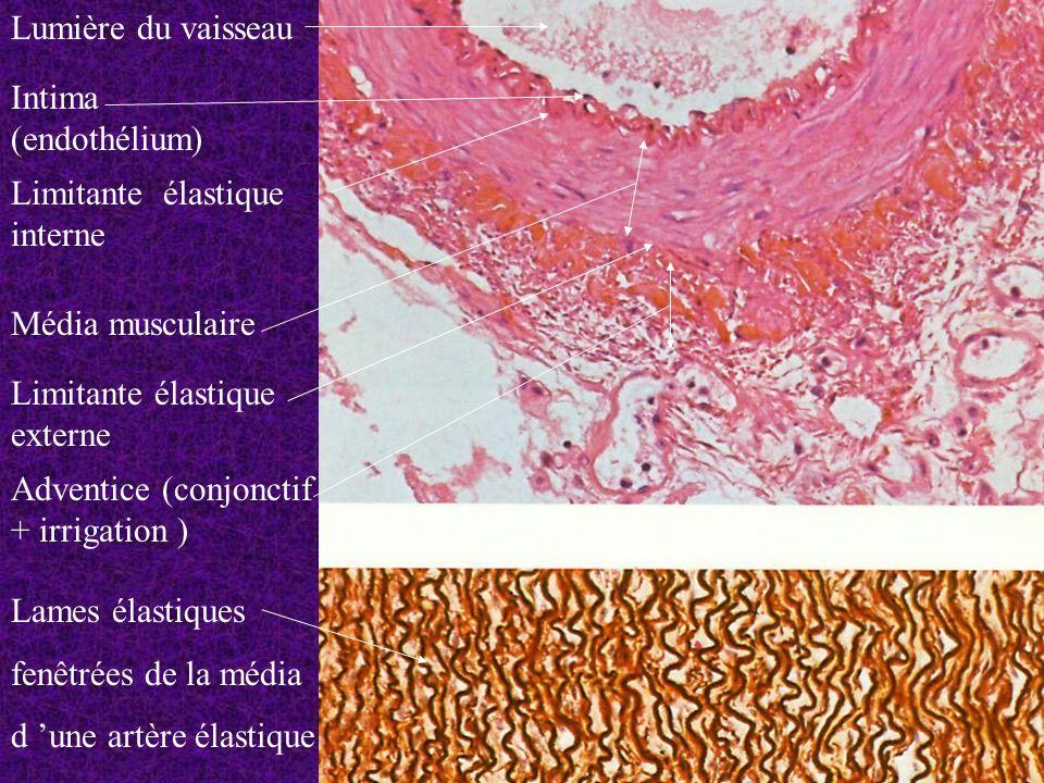 Lumière du vaisseau Intima (endothélium) Limitante élastique interne. Média musculaire. Limitante élastique externe.