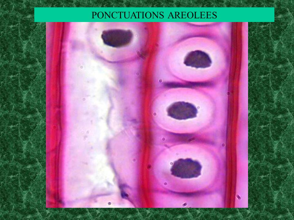 PONCTUATIONS AREOLEES
