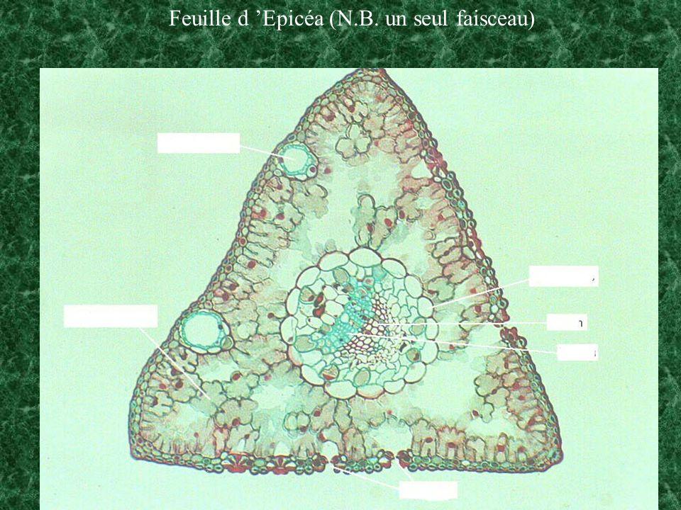 Feuille d 'Epicéa (N.B. un seul faisceau)