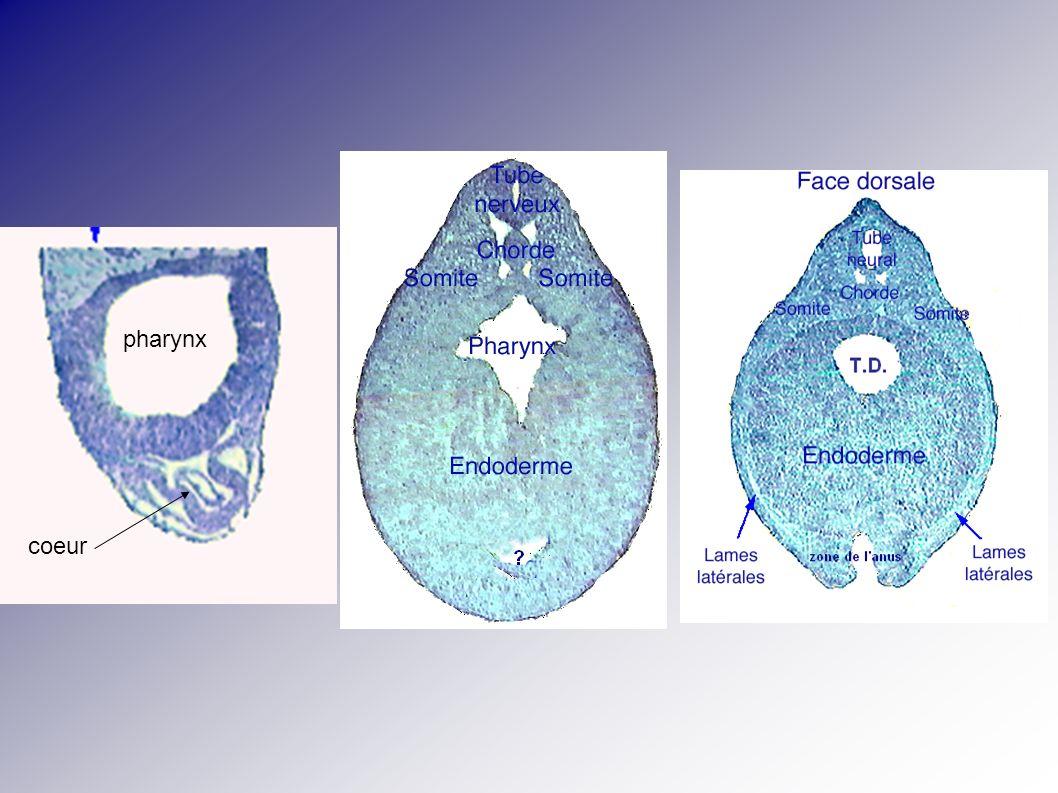 pharynx coeur