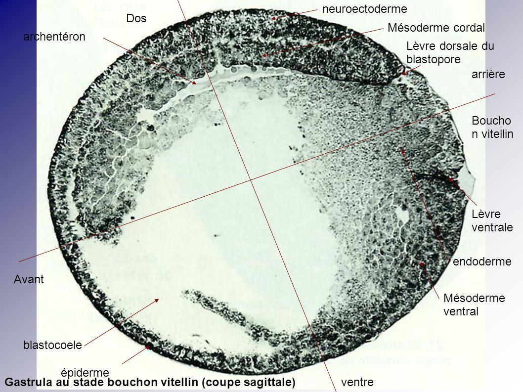 neuroectoderme Dos. Mésoderme cordal. archentéron. Lèvre dorsale du blastopore. arrière. Bouchon vitellin.