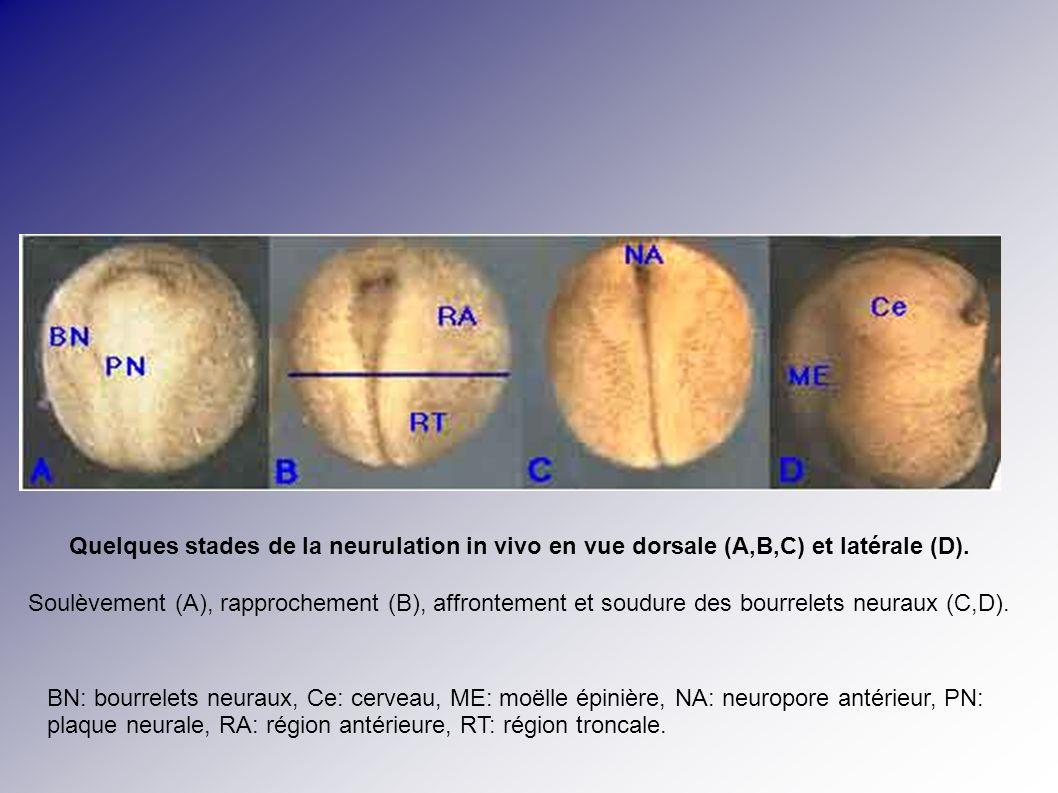 Quelques stades de la neurulation in vivo en vue dorsale (A,B,C) et latérale (D).