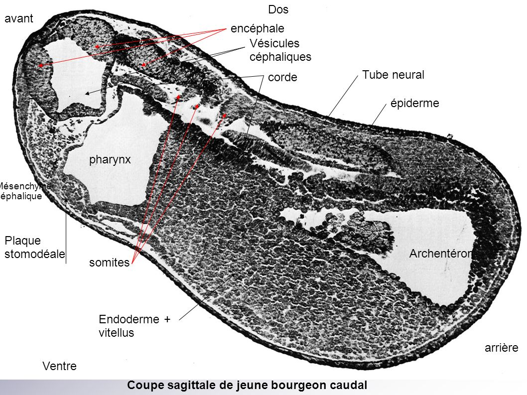 Vésicules céphaliques